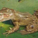 gator-frog-copy-300x173