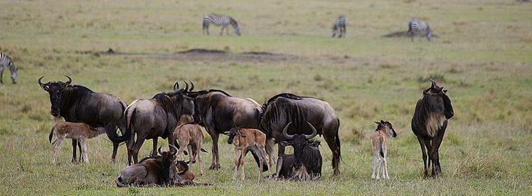 Wildebeest-in-Calving-Season