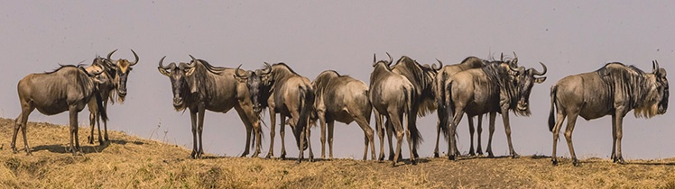 Wildebeest are in Southern Serengeti