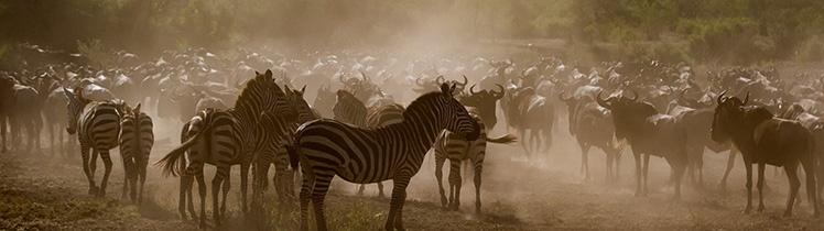 Wildebeest are in Central Serengeti
