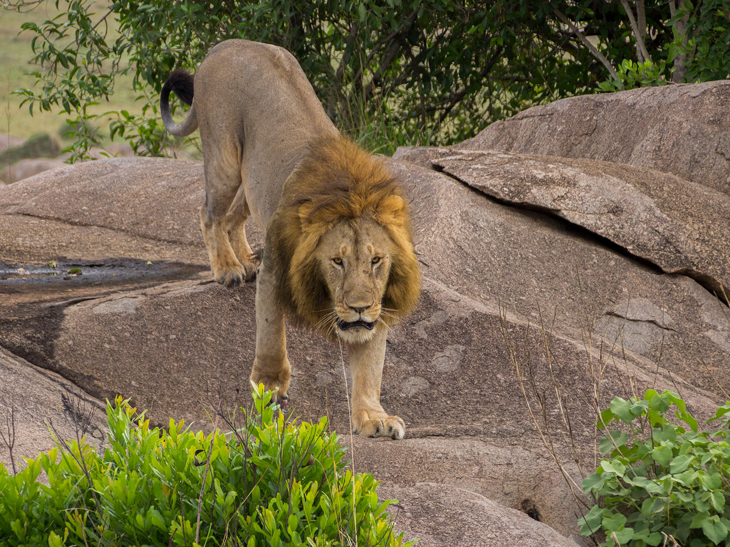 African Big Cats Photographic Safari
