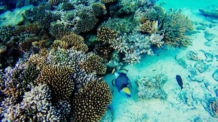 Image of a brightly coloured yellow and blue triggerfish and brown and purple coral in Fiji sea