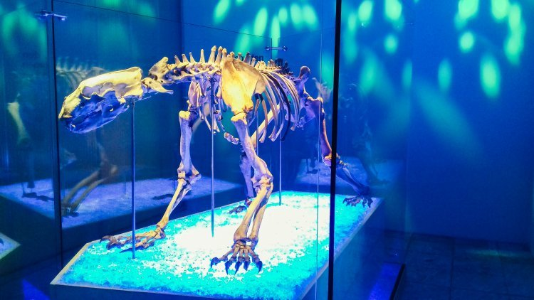 Image of a polar bear skeleton at the archaeological museum in Stavanger Norway