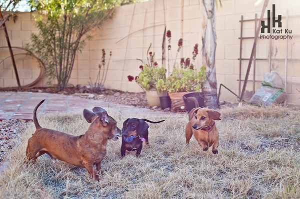 Dachshunds-4