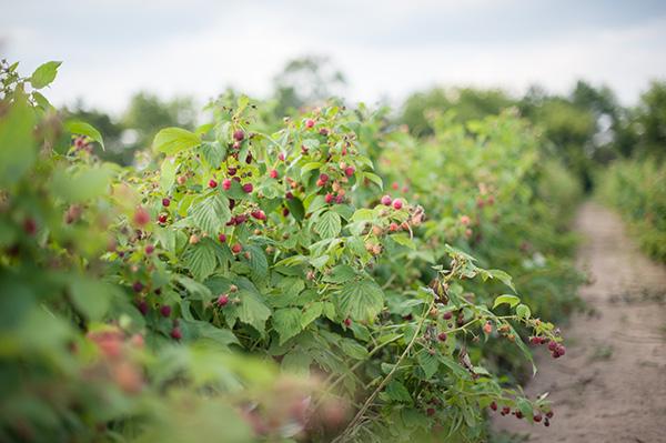 Pure Michigan_Kat Ku_Makielski Berry Farm_09