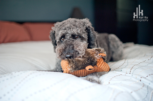 Ellie-the-Gray-Labradoodle_03