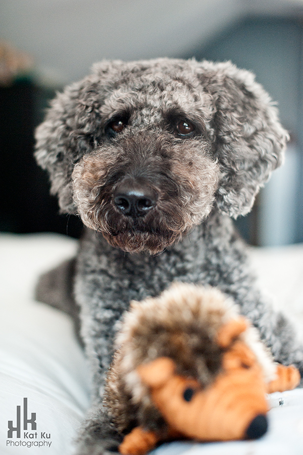 Ellie-the-Gray-Labradoodle_05