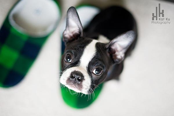 Kat-Ku-Photography_Boston-Terrier-Puppy21