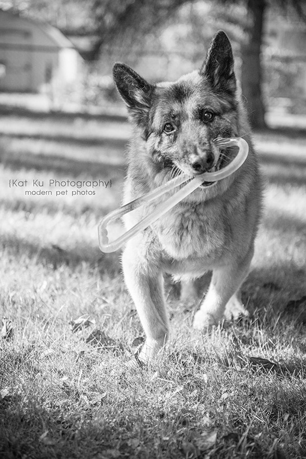 Mythos the German Shepherd_06