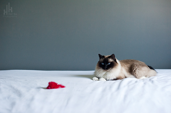Kat-Ku-Photography_Achilles_Ragdoll-Cat_01