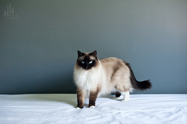 Kat-Ku-Photography_Achilles_Ragdoll-Cat_08