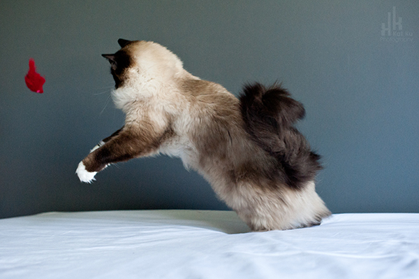 Kat-Ku-Photography_Achilles_Ragdoll-Cat_16