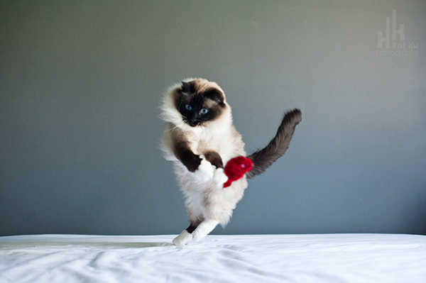 Kat-Ku-Photography_Achilles_Ragdoll-Cat_18