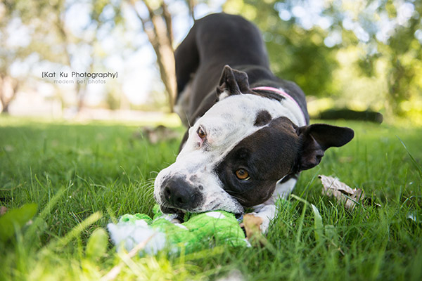 Kat Ku Photography_Bane and Raven_Pit Bull_06