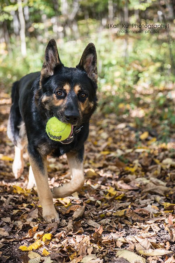 Kat Ku Photography_Bentley_German Shepherd_09