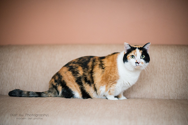 Kat Ku Photography_Adopt Munckin the Calico Cat_08