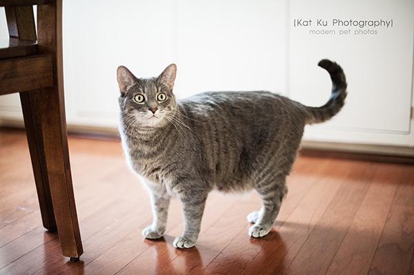 Kat Ku Photography_Dorian the Gray Cat03