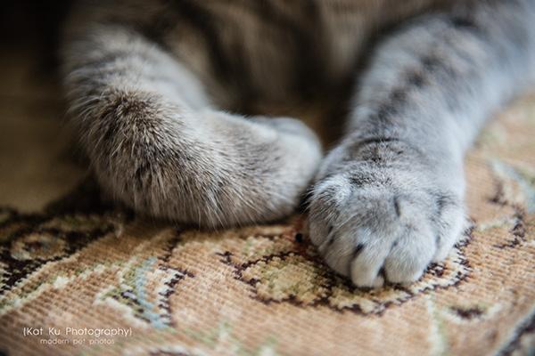 Kat Ku Photography_Dorian the Gray Cat05