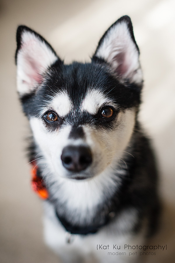 Kat Ku_Troy Pet Photos_Alaskan Klee Klai_01