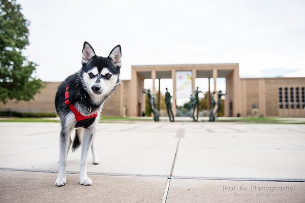 Kat Ku_Troy Pet Photos_Alaskan Klee Klai_17