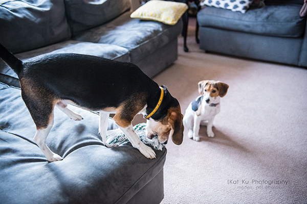 Kat Ku_Benny and Lulu_Beagle_27