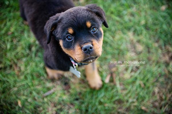 Kat Ku_Gia Rottweiler Puppy_01