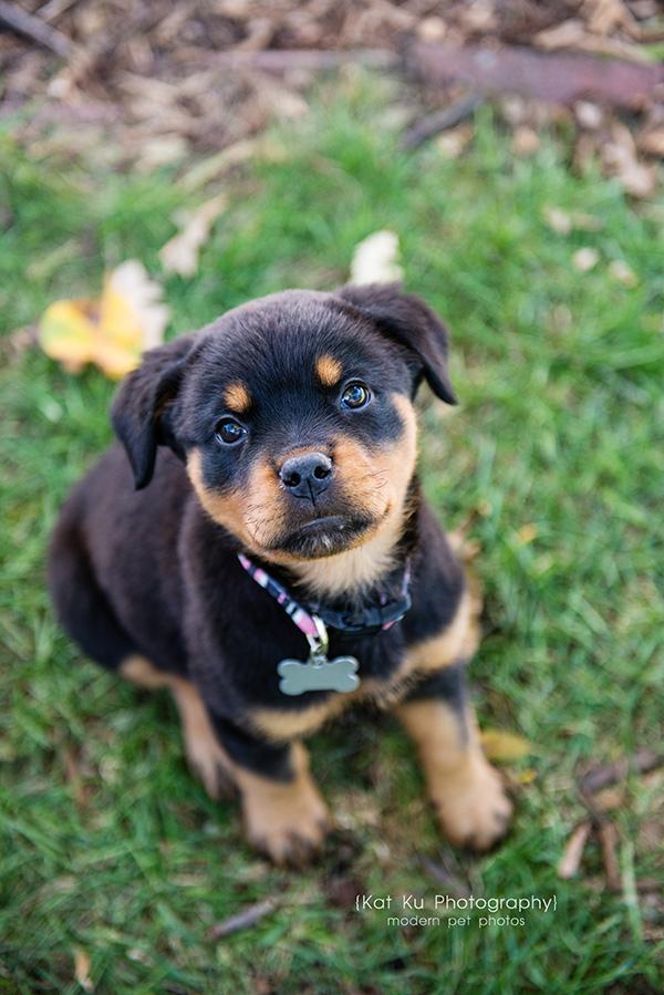 Kat Ku_Gia Rottweiler Puppy_02