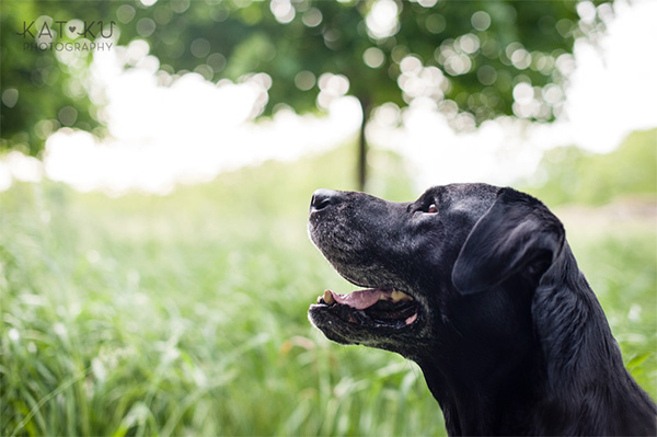 Kat Ku_Tank the Black Lab_Novi Dog Photographer_04