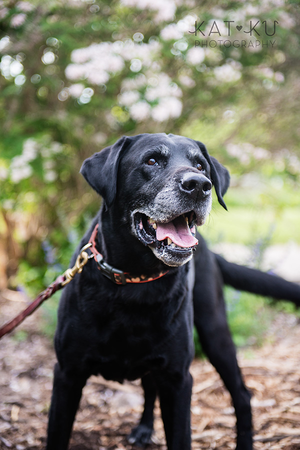 Kat Ku_Tank the Black Lab_Novi Dog Photographer_09