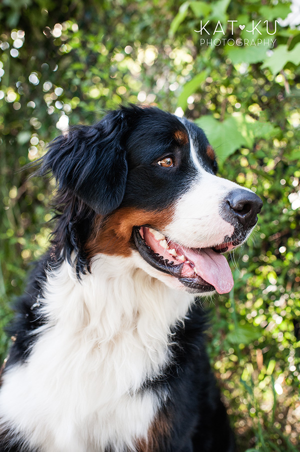 Kat Ku_Bernese Mountain Dog_Detroit Pet Photography_13