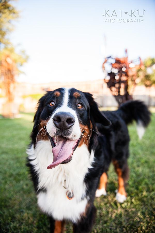 Kat Ku_Bernese Mountain Dog_Detroit Pet Photography_18