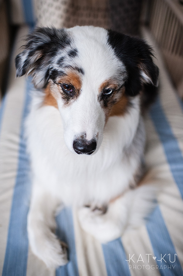 Kat Ku Photography - Ivan Australian Shepherd Royal Oak Michigan_03