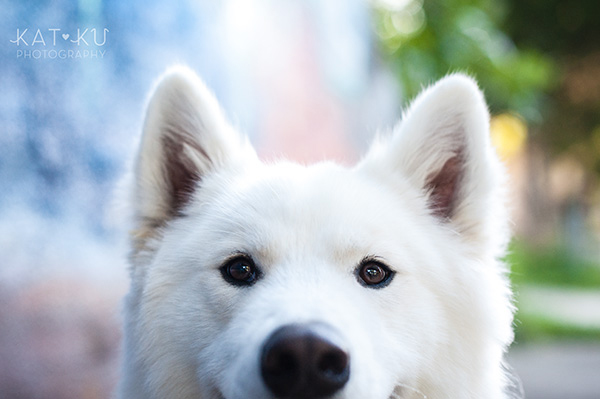 Kat Ku_Thor Samoyed_Pet Photography_01