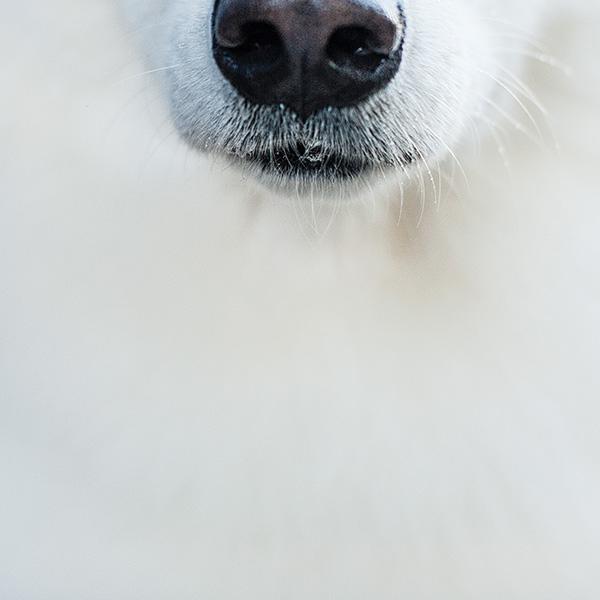 Kat Ku_Thor Samoyed_Pet Photography_09