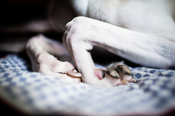 All Rights Reserved_Kat Ku_Italian Greyhound and Whippet_07