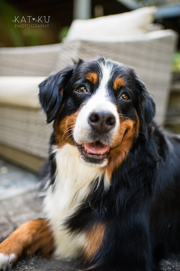Kat Ku_Great Pyrenees_Bernese Mountain Dog_Photo_11