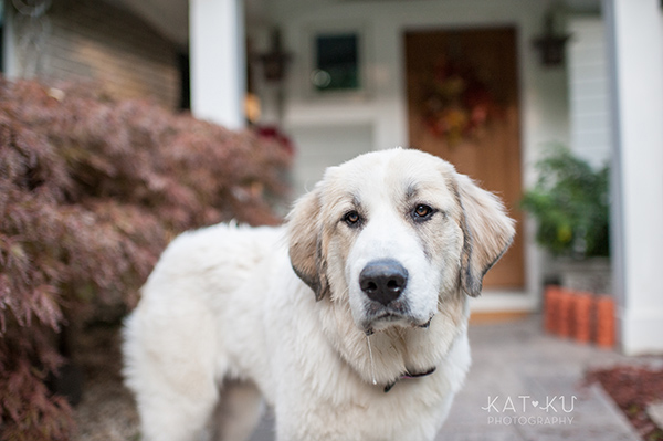 Kat Ku_Great Pyrenees_Bernese Mountain Dog_Photo_13