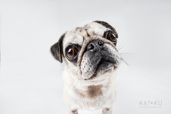 Kat Ku Photography - Cosmo Rah Frenchie Pug_08