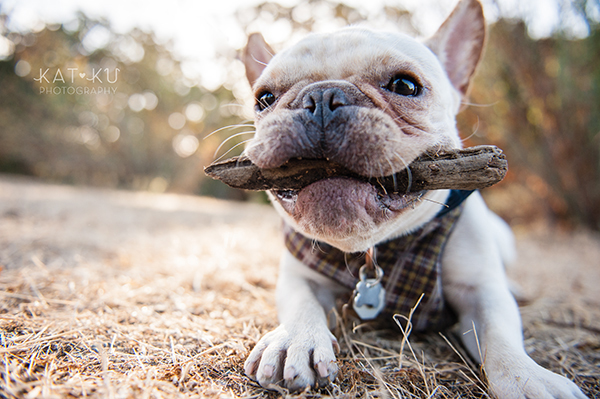 Kat Ku_San Francisco Pet Photography_Bowser_Frenchie_11