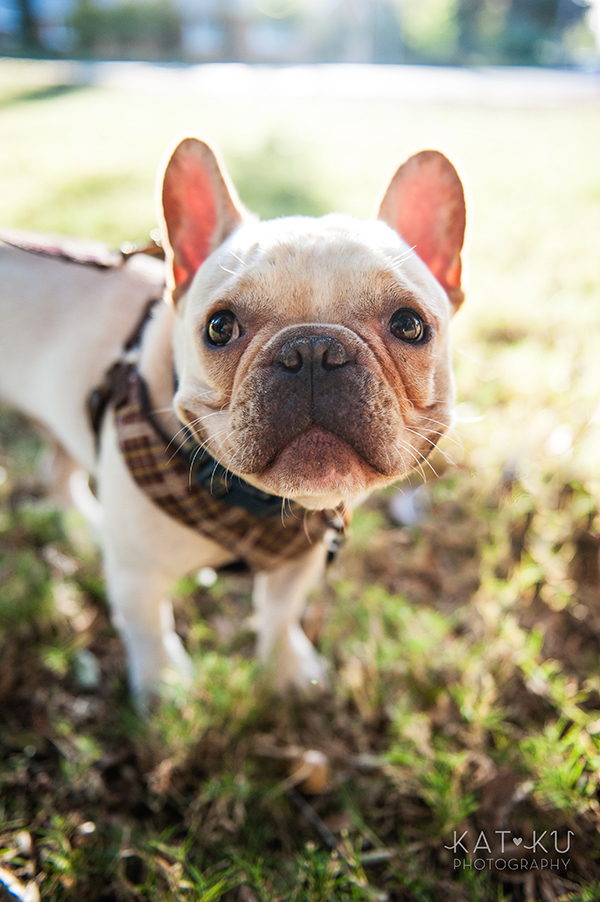 Kat Ku_San Francisco Pet Photography_Bowser_Frenchie_14
