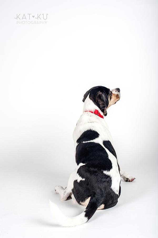 Kat Ku Photography - Jack the Beagle_07