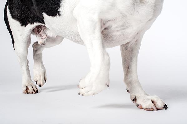 Kat Ku Photography - Jack the Beagle_11