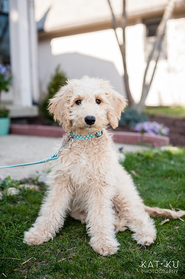 Kat Ku Pet Photography - Minnie Goldendoodle_05