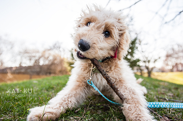 Kat Ku Pet Photography - Minnie Goldendoodle_09