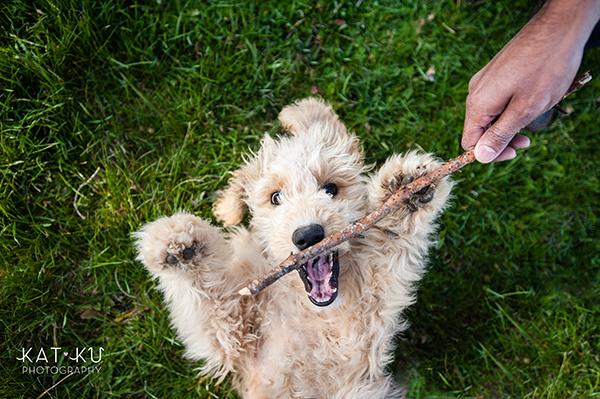 Kat Ku Pet Photography - Minnie Goldendoodle_14