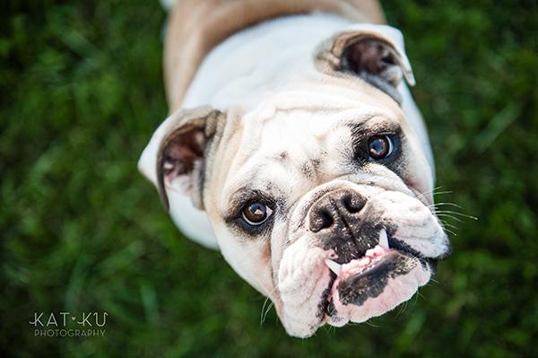 kat-ku-gemma-english-bulldog-pet-photography_01