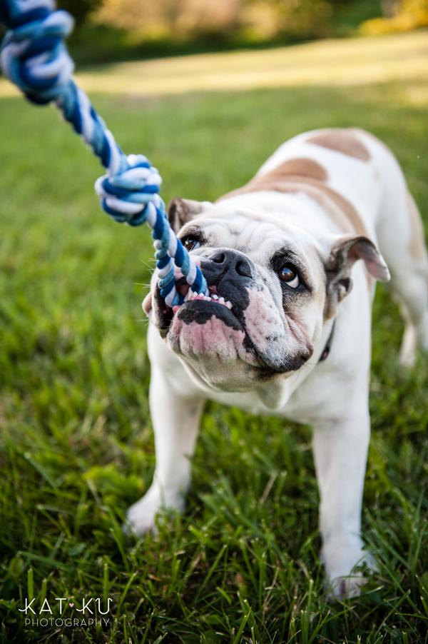 kat-ku-gemma-english-bulldog-pet-photography_07