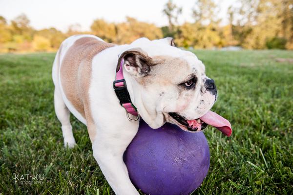 kat-ku-gemma-english-bulldog-pet-photography_17