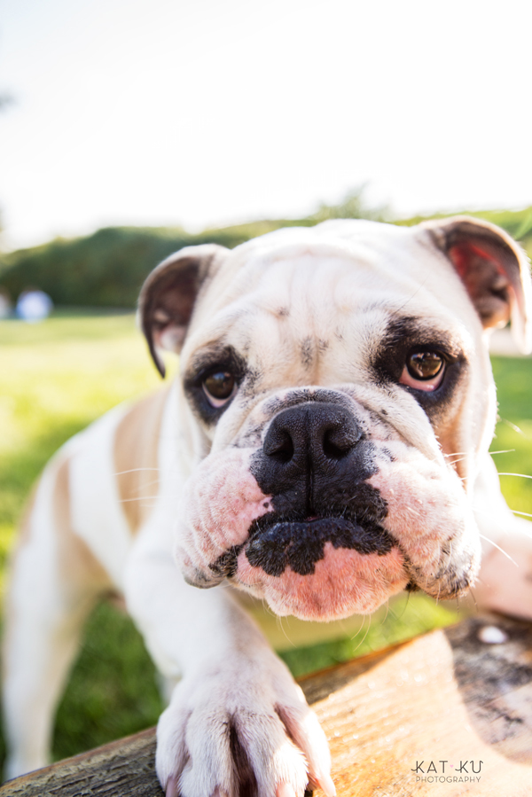 kat-ku-gemma-english-bulldog-pet-photography_19