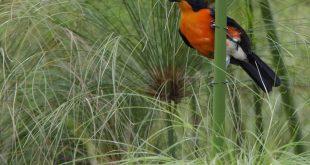 Uganda Birding Tour